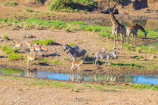 Manada de cebras, jirafas y antílopes pastando en la orilla del río shingwedzi en el parque nacional kruger, sudáfrica. marco idílico Foto Premium