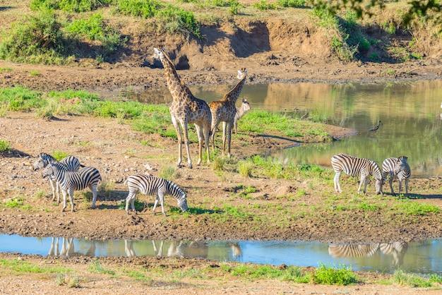 Manada de cebras, jirafas y antílopes pastando en la orilla del río shingwedzi en el parque nacional kruger Foto Premium