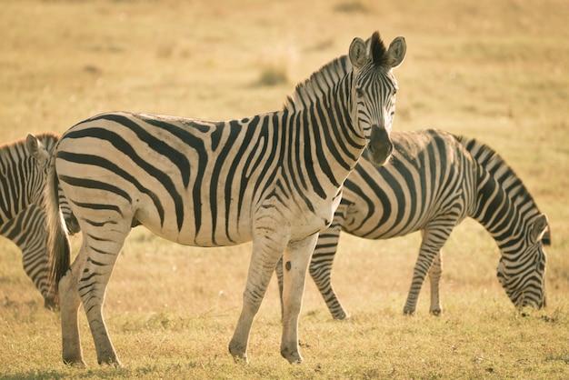 Manada de cebras pastando en el monte. wildlife safari en el parque nacional kruger, principal destino turístico en sudáfrica. imagen en tonos, estilo retro antiguo vintage. Foto Premium