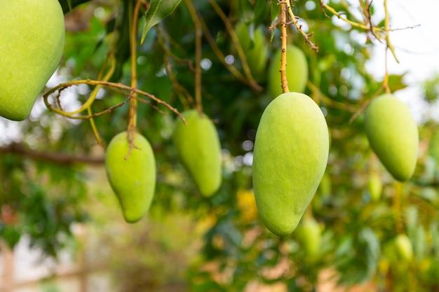 Mango en el árbol con la naturaleza. Foto gratis