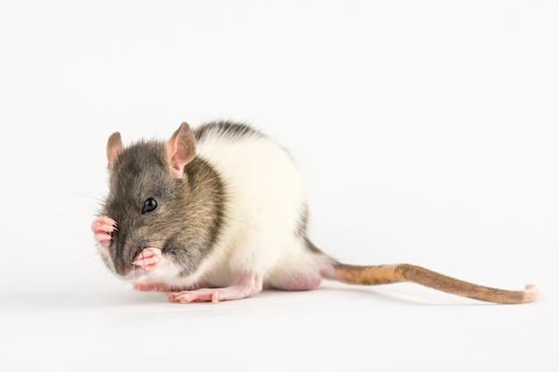 Mano decorativa rata sobre fondo blanco. Foto Premium