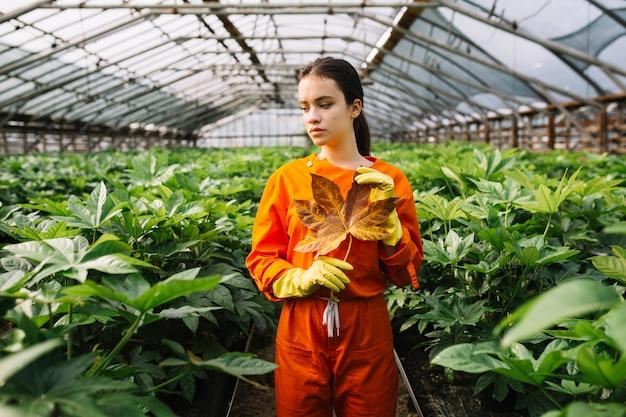 Mano femenina del jardinero con la hoja amarilla del japonica del fatsia que se coloca en invernadero Foto gratis
