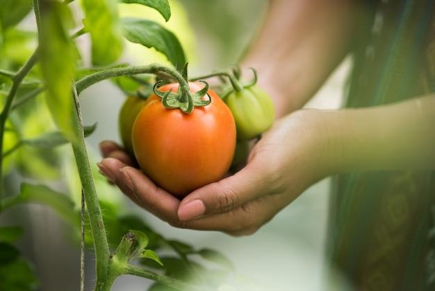 Mano femenina que sostiene el tomate en granja orgánica Foto gratis