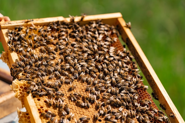 La mano del hombre sostiene un marco de madera con panales y abejas en el verano en el patio Foto Premium