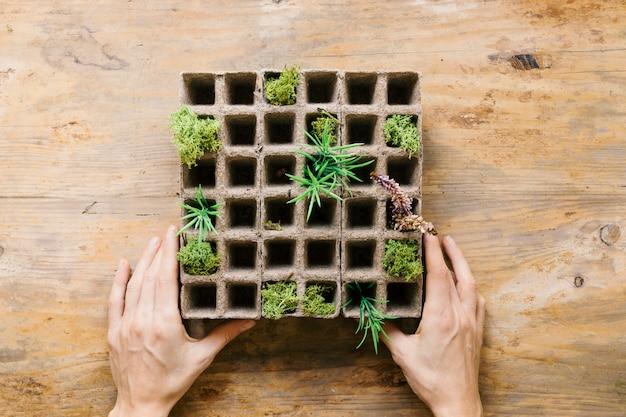 Mano de la persona plántula pequeñas plantas en bandeja de turba Foto gratis