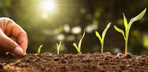 Mano siembra semilla de maíz de médula en el huerto con sol Foto Premium