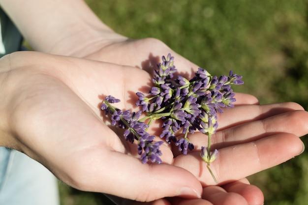 Mano sosteniendo flores de lavanda inglesa púrpura Foto gratis