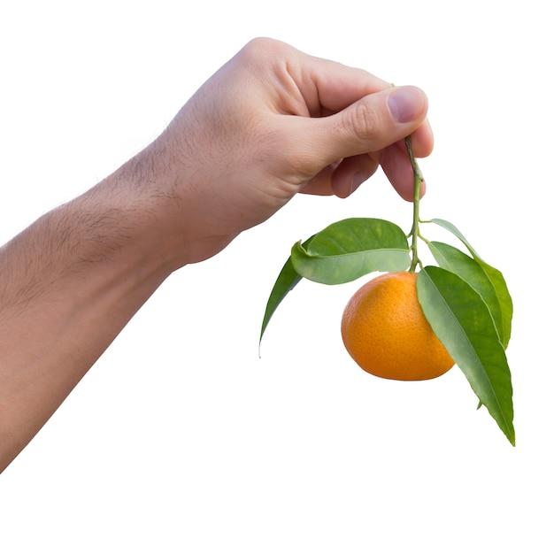 Mano sostiene mandarina madura en rama Foto Premium