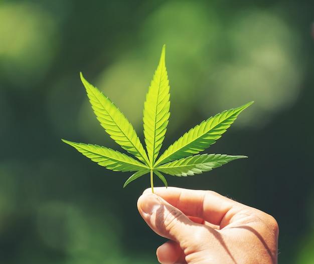 Mano sujetando la hoja de marihuana Foto Premium