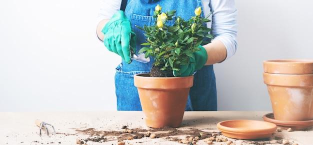 Manos de una mujer joven que planta rosas en la maceta. plantando plantas caseras. jardinería en casa. banner ancho largo con fondo de espacio de copia Foto Premium