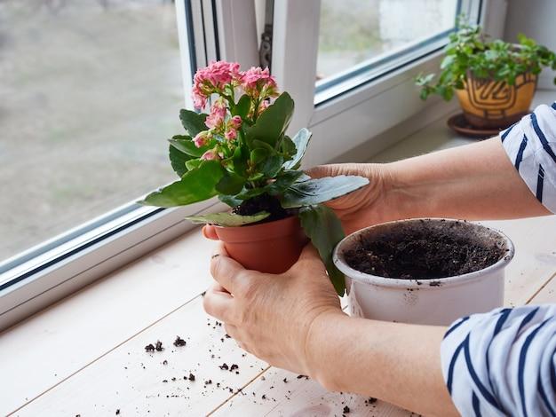 Manos de mujer trasplantan una planta casera en una maceta nueva Foto Premium