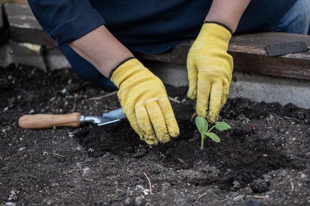 Las manos de las mujeres en guantes plantan flores en el suelo con vinagre. concepto de jardinería Foto Premium