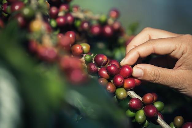Manos que están recogiendo granos de café del árbol de café. Foto gratis