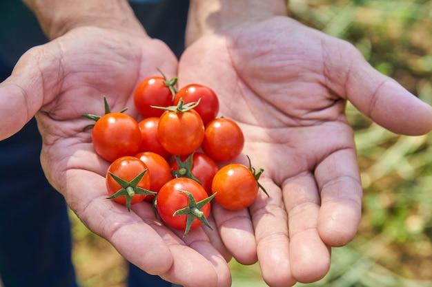Las manos del varón que cosechan los tomates frescos en el jardín en un día soleado. agricultor recogiendo tomates orgánicos. concepto de cultivo de hortalizas. Foto Premium