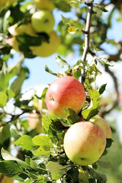 Manzanas en un árbol Foto gratis