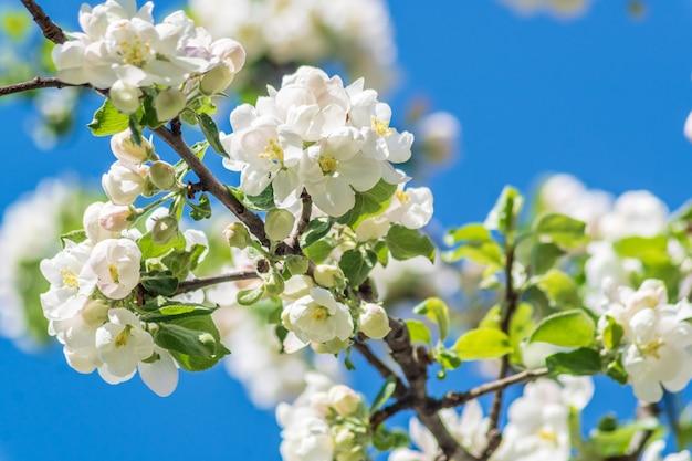 Manzano floreciente primavera hermosa Foto Premium
