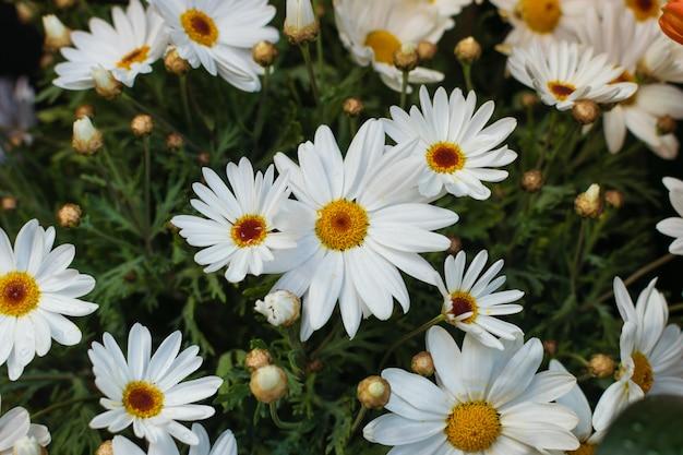 Margarita flores de fondo. Foto Premium