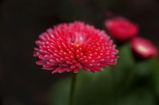Margaritas en la oscuridad y copia espacio. margaritas florales mody Foto Premium