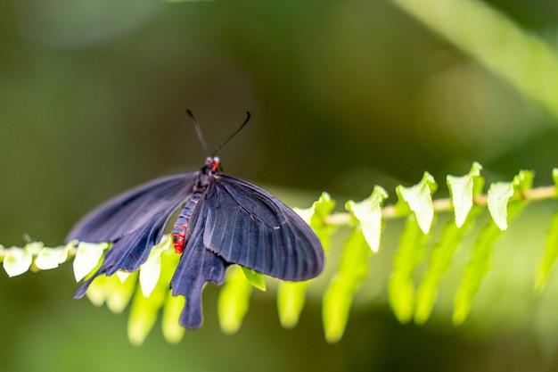 Mariposa rosa rosa pachliopta kotzebuea Foto Premium