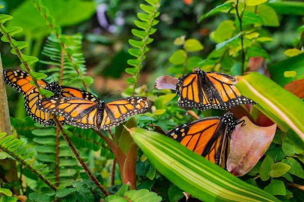 Mariposas monarcas (danaus plexippus), con las alas abiertas, sobre hojas verdes Foto Premium