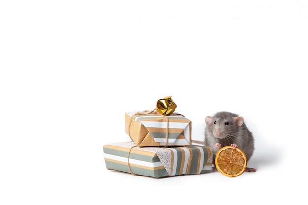 Mascota encantadora rata decorativa cerca hay regalos y naranja seca. año nuevo de la rata. Foto Premium