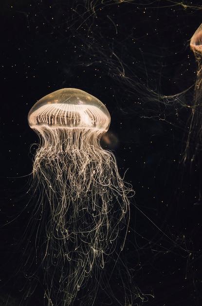 Medusas en tanque de agua Foto gratis
