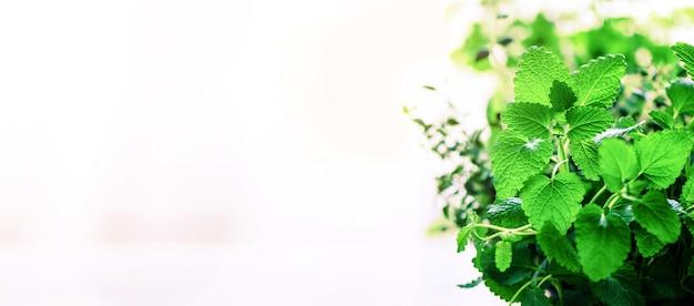 Menta orgánica verde sobre fondo claro. hojas de menta con fugas soleadas, bokeh. Foto Premium