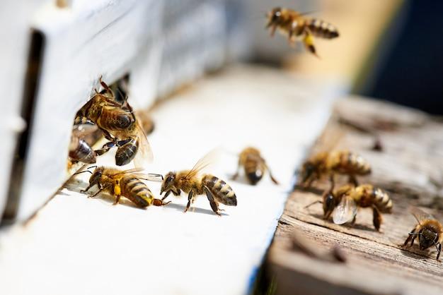 Miel de abeja en la entrada de una colmena de madera. Foto Premium