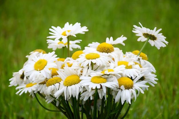 Montón de frescas cortadas hermosas manzanillas en plena floración sobre fondo de hierba Foto Premium