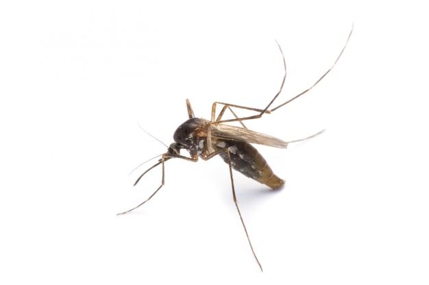 Mosquito aislado en blanco Foto Premium