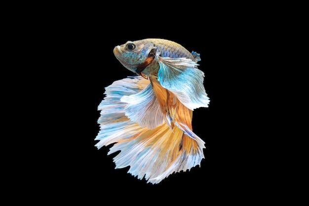 Movimiento de peces betta, peces luchadores siameses, betta splendens aislado en negro Foto Premium