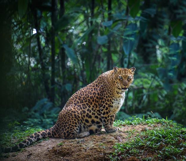 Mujer embarazada jaguar mirando Foto Premium