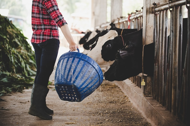 Alimentando vacas lecheras