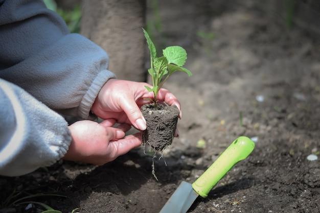 Una mujer planta una plántula en campo abierto, cubriéndola con tierra. Foto Premium