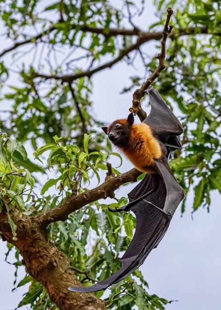 Los murciélagos descansan en el árbol Foto Premium