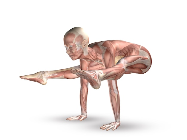 Músculos del cuerpo humano | Descargar Fotos gratis