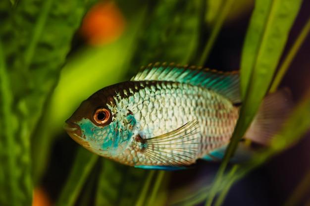 Nannacara peces de acuario azul sobre algas. Foto Premium