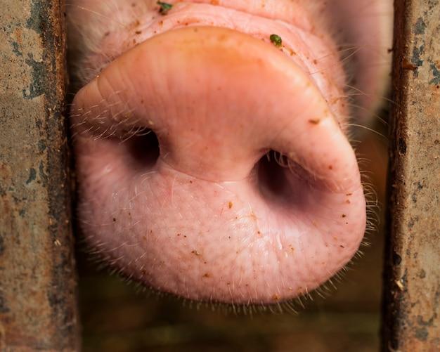 Nariz de cerdo entre barras metálicas Foto gratis