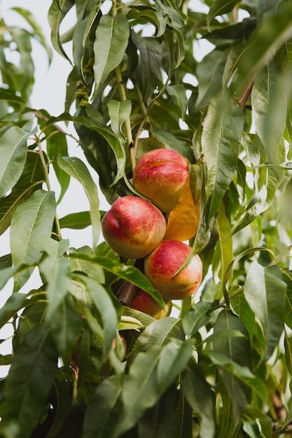 Nectarinas orgánicas dulces en árbol en jardín Foto Premium