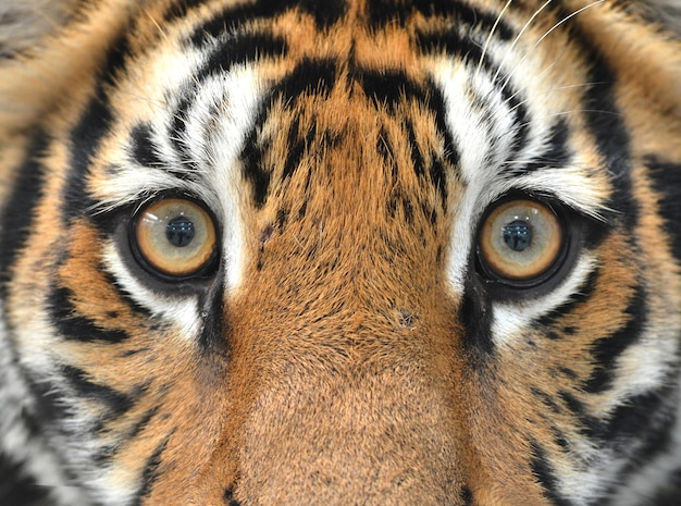 Ojos De Tigre De Bengala