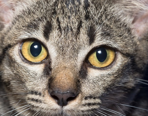 ¿Se puede usar aceite de oliva en los ojos infectados de un gatito?