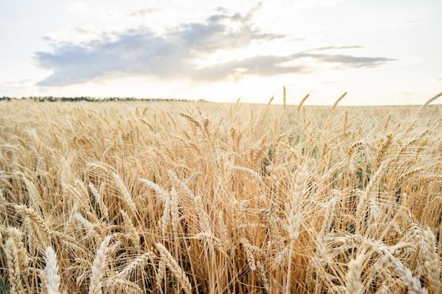 Orejas de campo de trigo trigo de oro. concepto de rica cosecha. Foto Premium