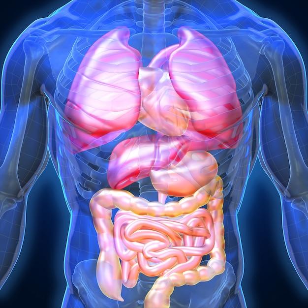 Órganos humanos en 3d y músculo, hombre de anatomía de sombra azul ...