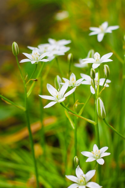 Ornithogalum flores primer plano (estrella de belén) Foto Premium