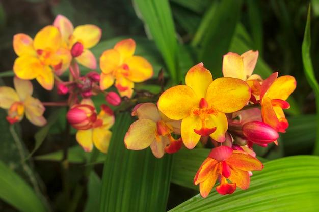 Orquídea molida, colores brillantes en el jardín de verano. Foto Premium