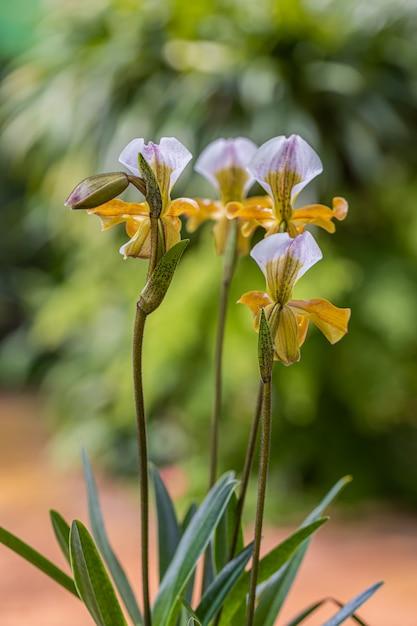 Orquídea paphiopedilum en doi ang khang, chiang mai, tailandia Foto Premium