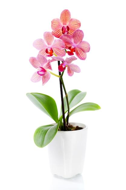 Orquídea rosa en una maceta blanca | Foto Premium