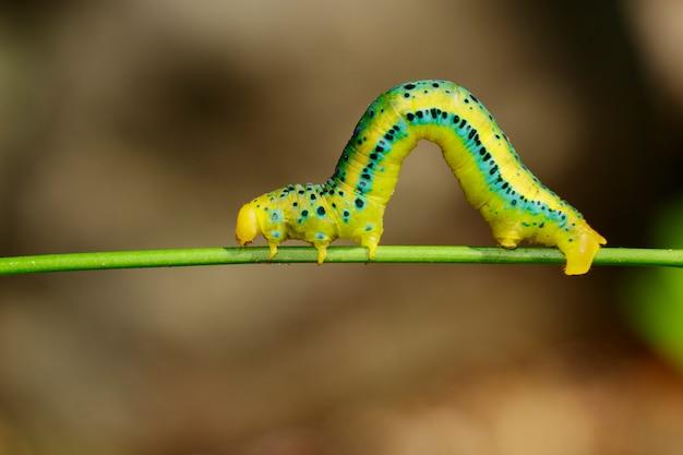 Oruga de dysphania militaris en fondo de la naturaleza. insecto animal. Foto Premium