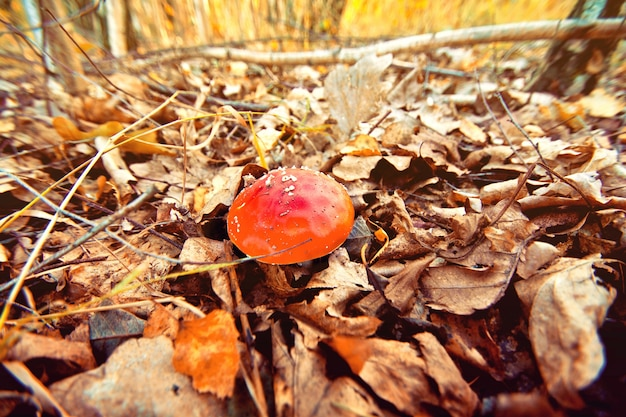 Otoño en el bosque. seta venenosa. Foto gratis