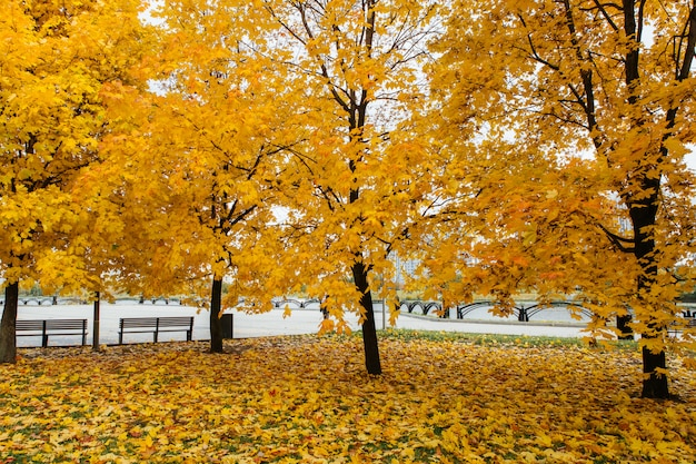 Otoño coloridos árboles y hojas caídas Foto Premium